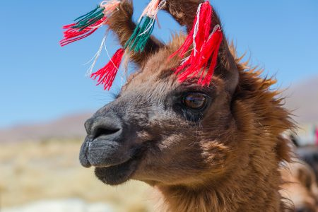 Un lama en Bolivie